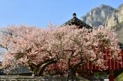 문화재청, 우리나라 4대 매화(천연기념물) 개화시기 안내
