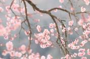 국악인이 추천하는 휴일의 시 26: 벚꽃 (송연우)